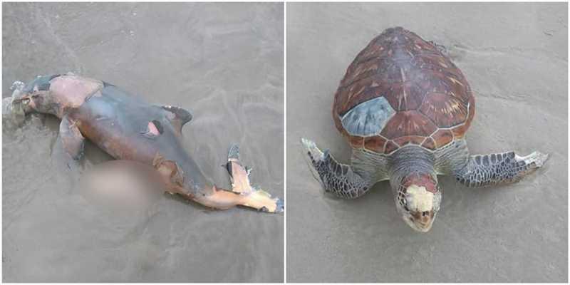 Toninha e tartaruga-verde foram encontradas mortas em praia de SP — Foto: Arquivo Pessoal/Julio Cesar