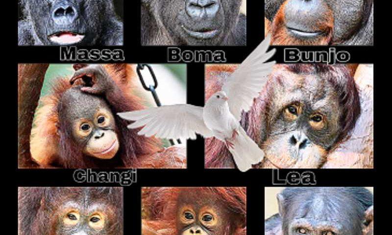 GAP Brasil: Santuário se coloca à disposição para receber chimpanzés sobreviventes de incêndio em zoo alemão