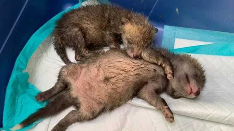 Homem faz cesárea em raposa atropelada e salva 4 filhotes