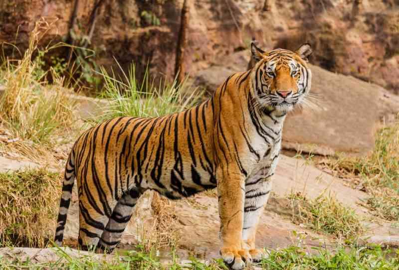 Tigres 'de estimação' abandonados são encontrados em condições chocantes após o tutor sair de seu país