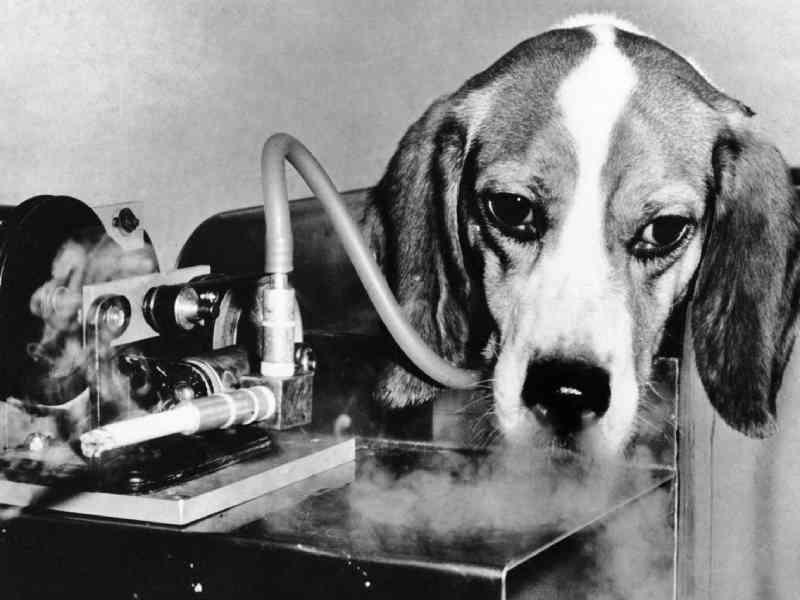 Animais vítimas da indústria do tabaco em testes de laboratório