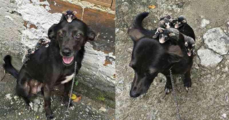 Cachorra adota gambazinhos órfãos e se revela uma mãe exemplar
