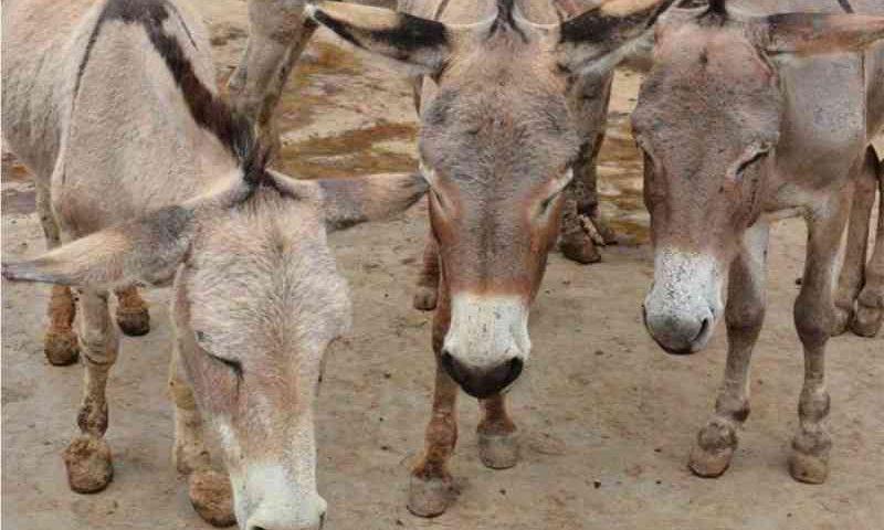 Cinco milhões de burros são mortos por causa de sua pele, usada na medicina tradicional chinesa