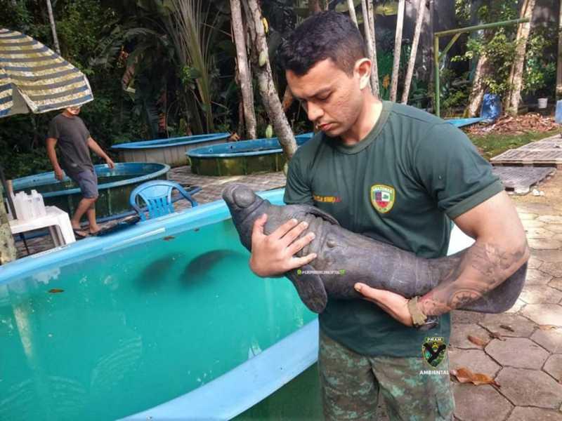 Enrolado em malhadeira, filhote de peixe-boi é resgatado na zona rural de Itacoatiara, AM