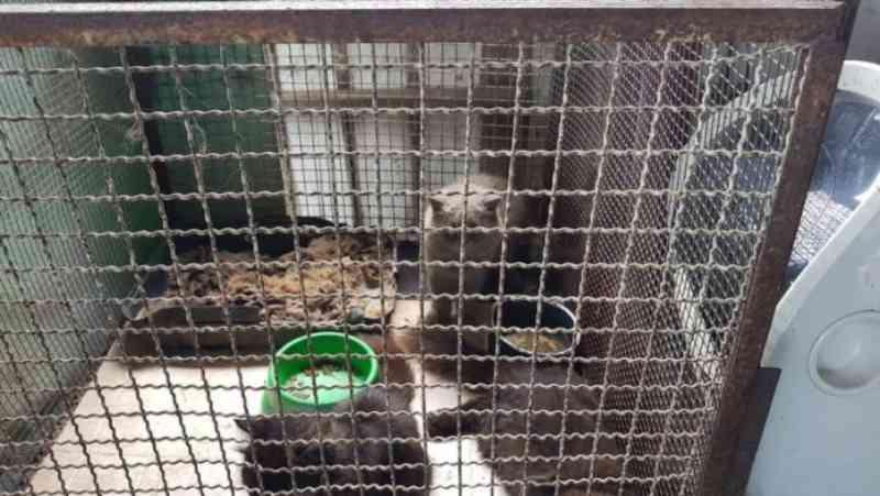 Ipaam multa, embarga e descobre maus-tratos a animais em flutuantes de Manaus, AM