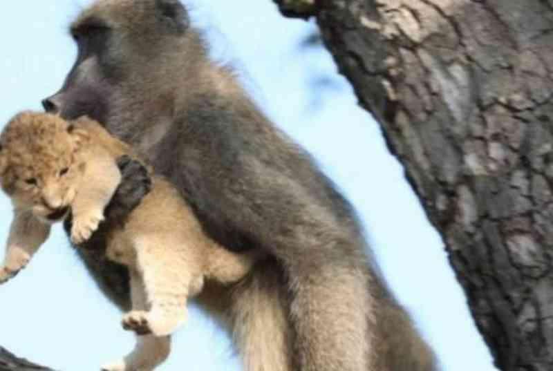 Babuíno protege filhote de felino e recria icônica cena de 'Rei Leão' em parque na África do Sul