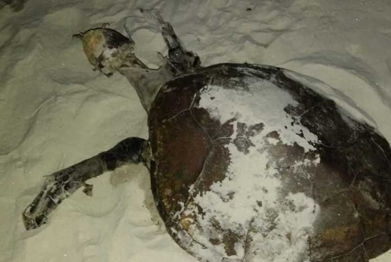 Tartaruga encontrada morta em Uruçuca. — Foto: Projeto (A)mar.