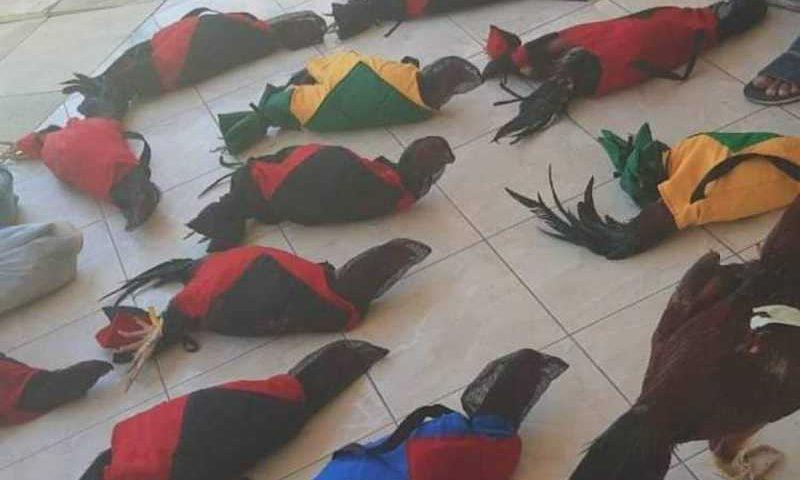 Galos foram encontrados em situação de maus tratos (Foto: Divulgação/PMCE )