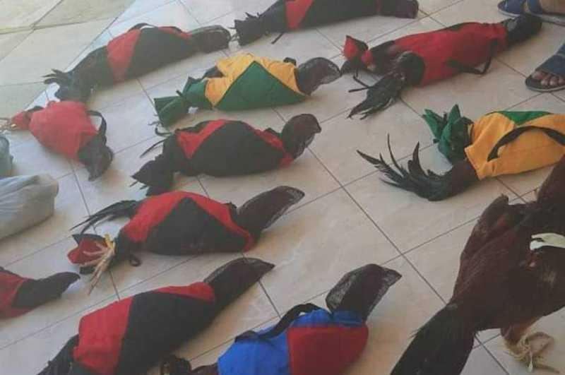 Rinha de galo é fechada no Aracati, CE; 19 galos foram encontrados e um deles estava morto