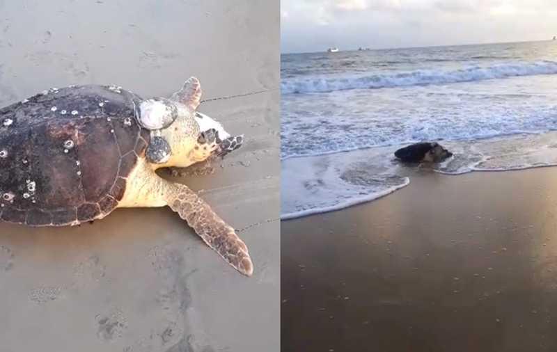 Tartaruga com tumor é encontrada morta no litoral de Fortaleza, CE