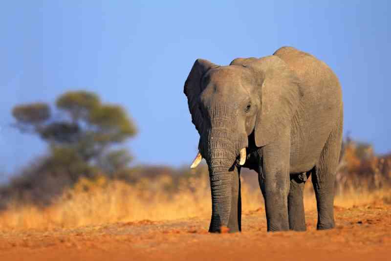 Apesar das críticas, Canadá segue em frente com leilão para primeira caçada aos elefantes por marfim no Botsuana