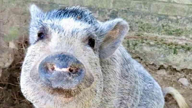 Santuário de porcos procura voluntários para abraçar animais e dar comida à boca