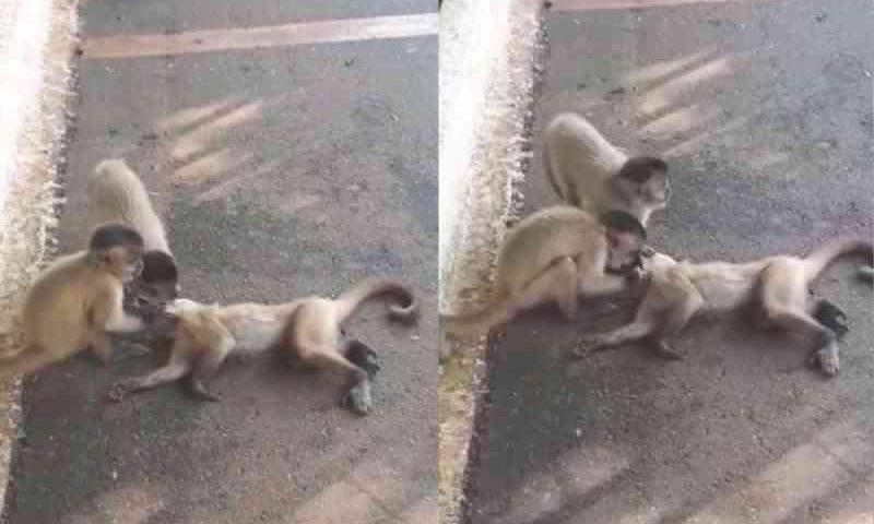 Após ser atropelado, macaco é 'socorrido' por outros animais da mesma espécie em Goiânia; vídeo
