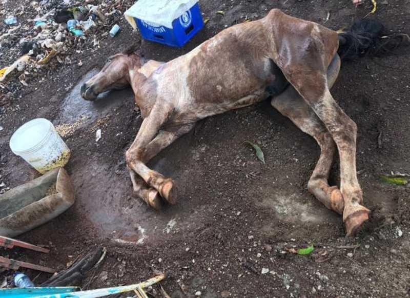 Polícia Ambiental resgata cavalo que sofria maus-tratos em Caldas Novas, GO; tutor fugiu
