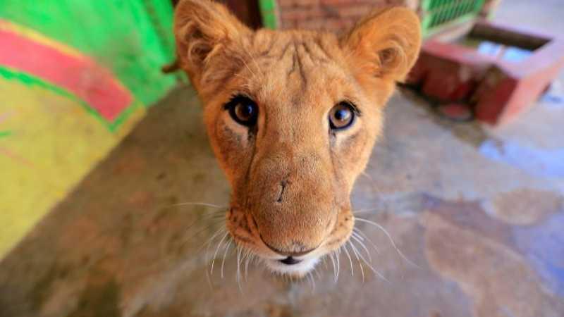 Filhote de leão de seis meses, no zoológico de Sanaa, capital do Iêmen, em 21 de janeiro de 2020 - AFP/Arquivos
