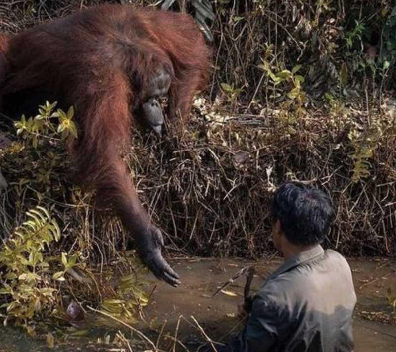 Em imagem comovente, orangotango estende mão para salvar guarda em rio de cobras