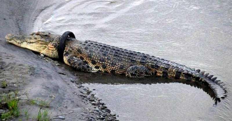 As autoridades tentam, a todo custo, atrair o réptil selvagem,usando até mesmo carne fresca, mas o crocodilo não se mostra interessado | Foto: Reprodução