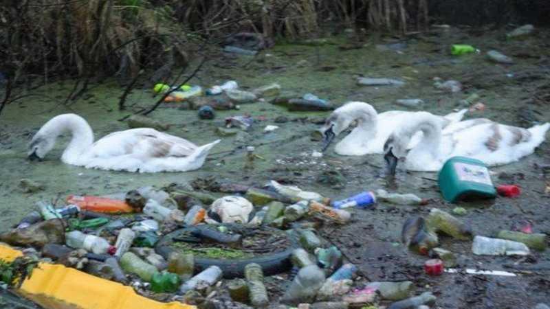 Cisnes nadam no meio do lixo na Inglaterra Foto: Reprodução/Facebook(Sankey Canal Wildlife)