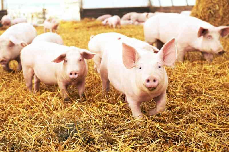 Imagens secretas terríveis mostram porcos famintos comendo uns aos outros vivos em fazenda de carne