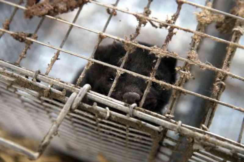 Ativistas mostram imagens do tratamento cruel aos animais em fazenda de peles da Lituânia