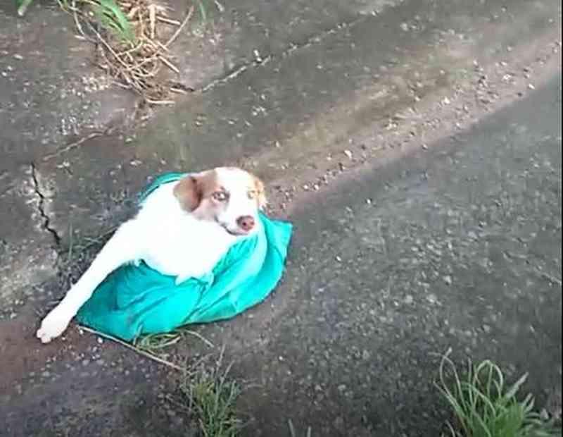 Motorista encontra cão amarrado em saco plástico na Fernão Dias em MG