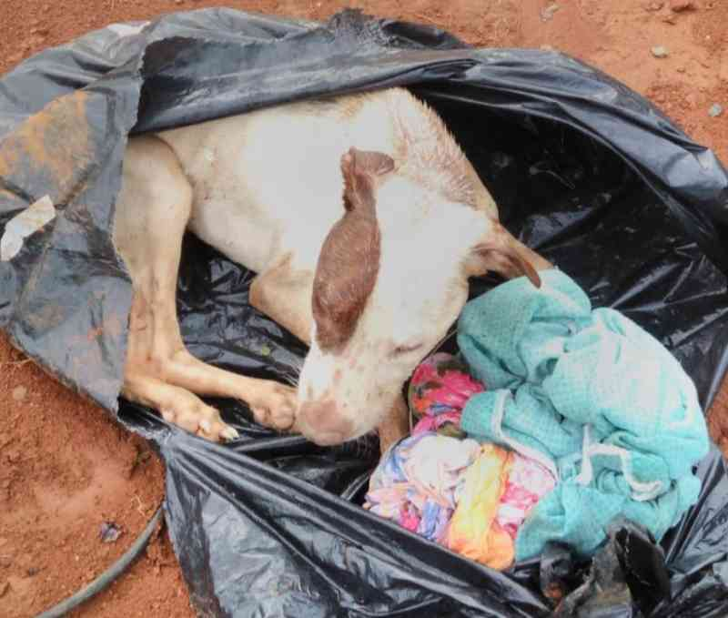 Casal é detido após abandonar pit bull em saco de lixo no aterro sanitário em Uberlândia, MG