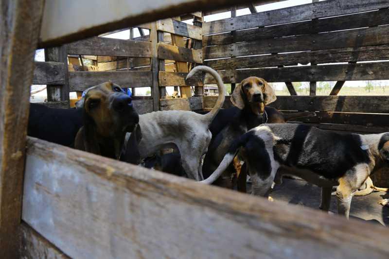 Quatro meses após resgate em fazenda, cães 'de caça' precisam de lares temporários
