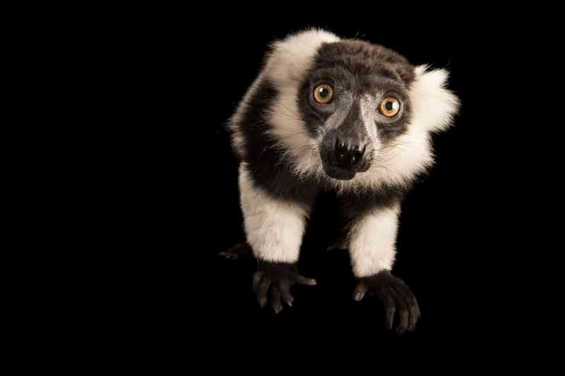 Famosos lêmures de Madagascar correm risco de perder sua floresta até 2080