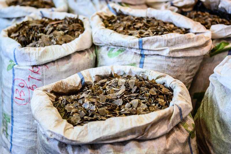 Comércio ilegal de pangolins aumenta com a expansão de redes criminosas
