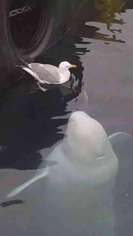 Vídeo mostra beluga adorável tentando fazer amizade com uma gaivota