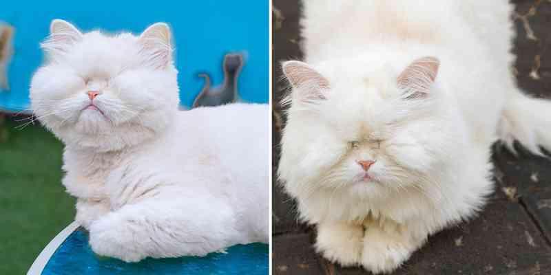 Uma gata que ficou cega por negligência agora arrecada dinheiro para o resgate de animais