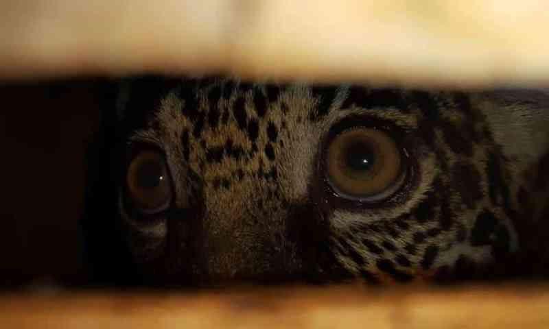 Filhote de onça pintada preso em caixa de madeira é resgatado em Cametá, PA