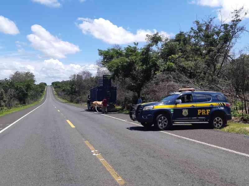 PRF apreende 103 animais nas rodovias do Piauí