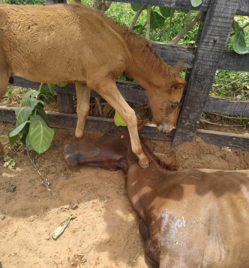 Potro tenta reanimar mãe, mas égua morre por falta de água e comida no curral da Prefeitura de Curimatá, PI