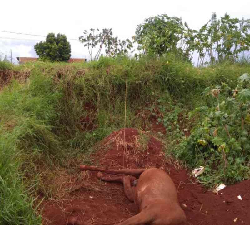 Cavalo morre vítima de maus-tratos em Arapongas, PR