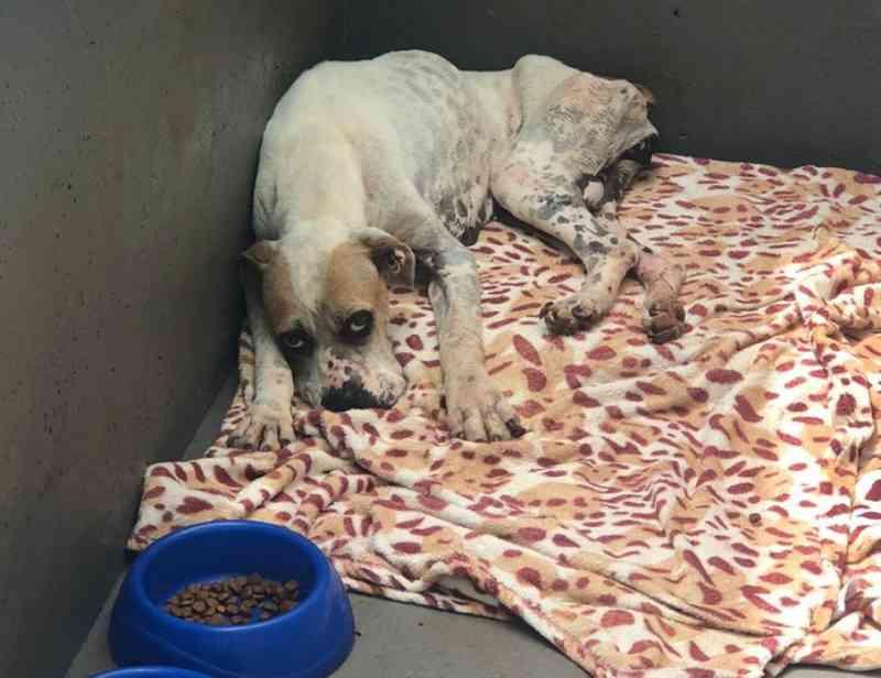 Cachorra resgatada com sinais de abandono em Capanema (PR) é adotada pela Polícia Civil