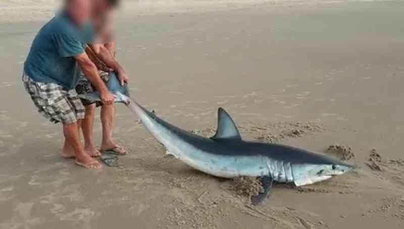 Homens que arrastaram tubarão em Guaratuba (PR) podem responder por crime ambiental