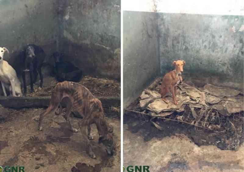 Guarda Nacional divulga fotos dos cães subnutridos do toureiro João Moura