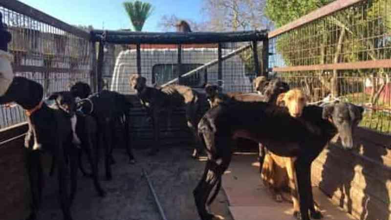 Petição para proibir corrida de galgos em Portugal já tem mais de 14 mil assinaturas
