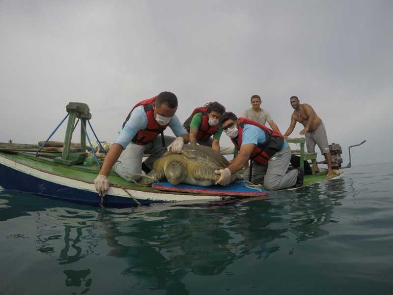 Tartaruga de 90 quilos foi solta nesta sexta-feira em Areia Branca — Foto: Projeto Cetáceos