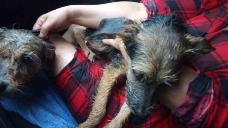 Crueldade em Erechim, RS: homem deixa cães amarrados na mata e os abandona