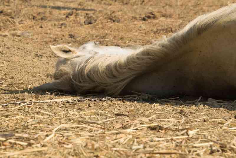 Cavalo é deixado para morrer com as patas amarradas juntas