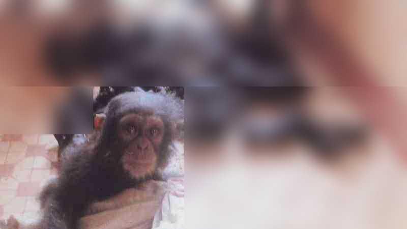 Cercado por sua família mutilada, este bebê chimpanzé chorava quando um humano se aproximava dele