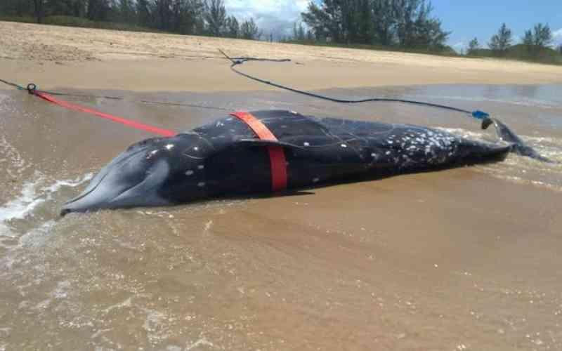 Baleia nunca antes vista em Santa Catarina aparece morta em Palhoça