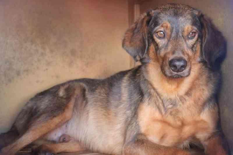 Vítima de maus-tratos, cachorro que sobreviveu a facadas aguarda adoção em SC