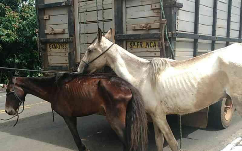 Dois cavalos desnutridos são resgatados sem água e comida em área pública de Franca, SP