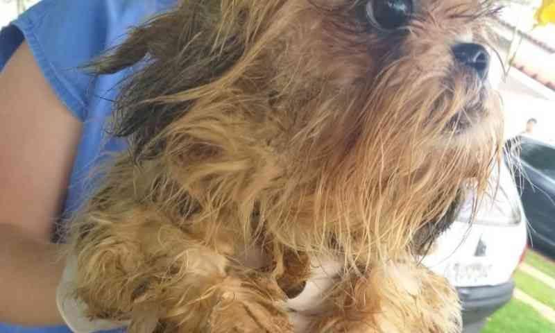 Cãezinhos shih-tzu resgatados de canil já têm 300 pessoas na fila de adoção