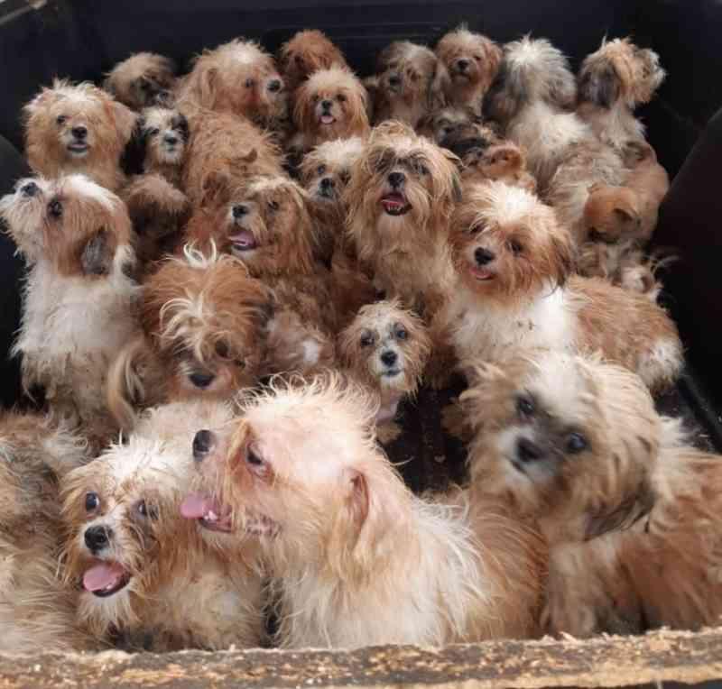 PM estoura canil clandestino que mantinha 66 cães da raça shih tzu em cativeiro