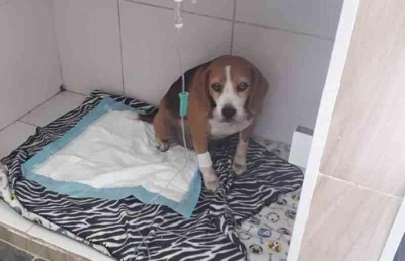 Beagles que comiam lama em galinheiro precisam de ajuda
