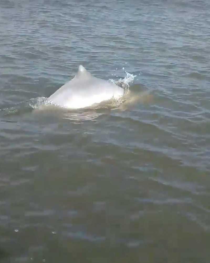 Mãe de golfinho protege filhote morto e ação intriga especialistas; vídeo